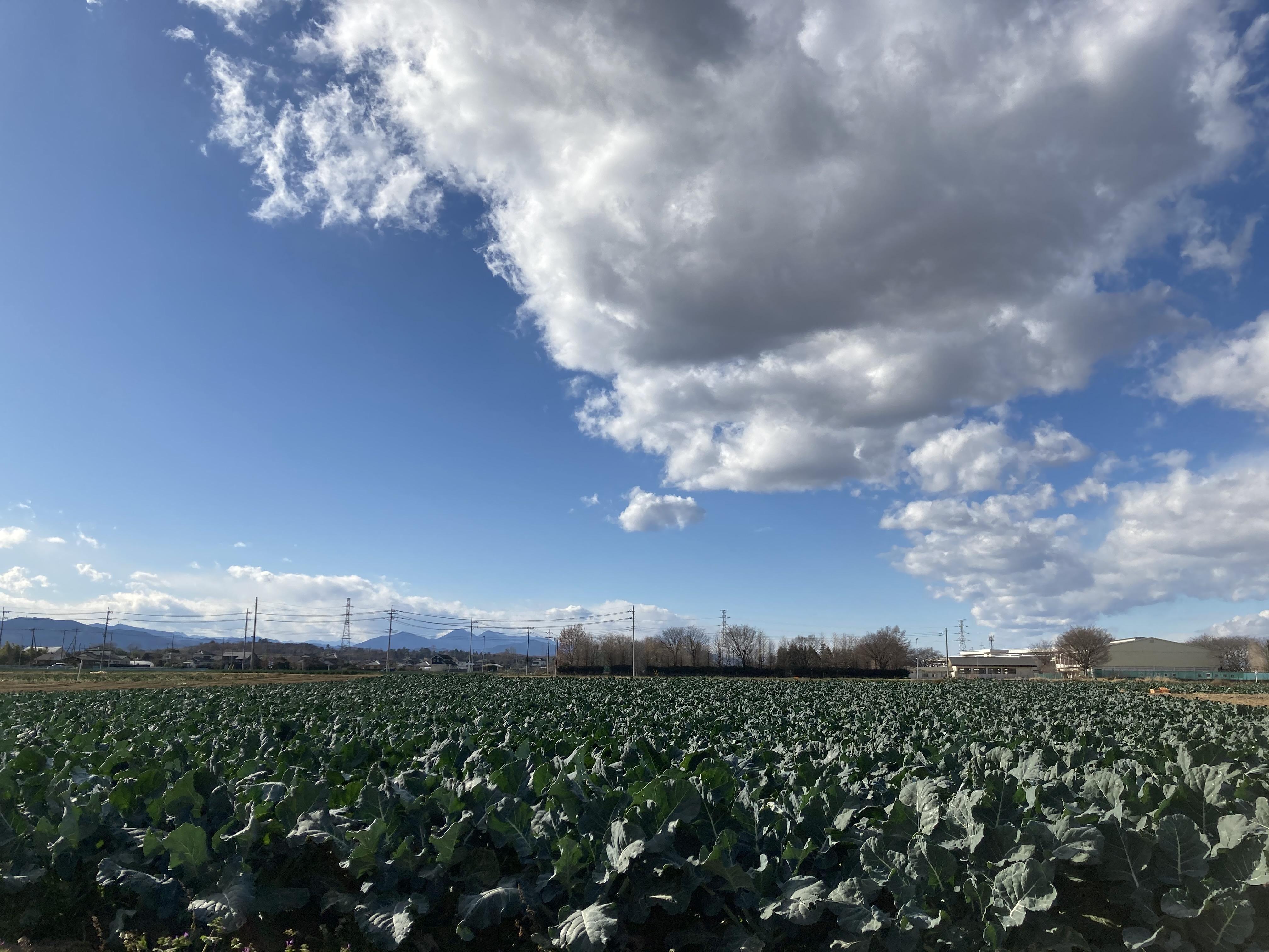 深谷市のブロッコリー畑