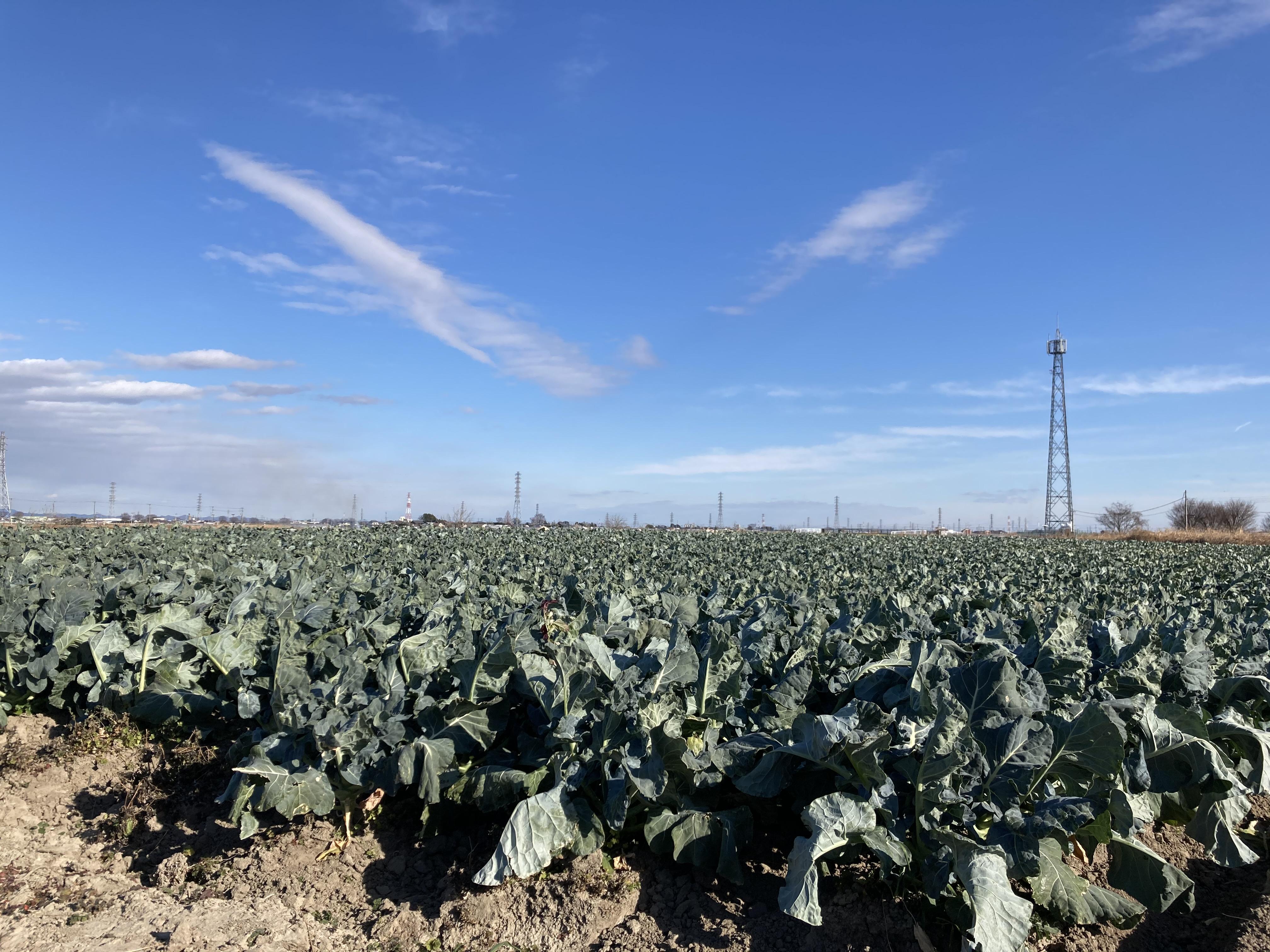 深谷市の農業 ブロッコリー畑 01