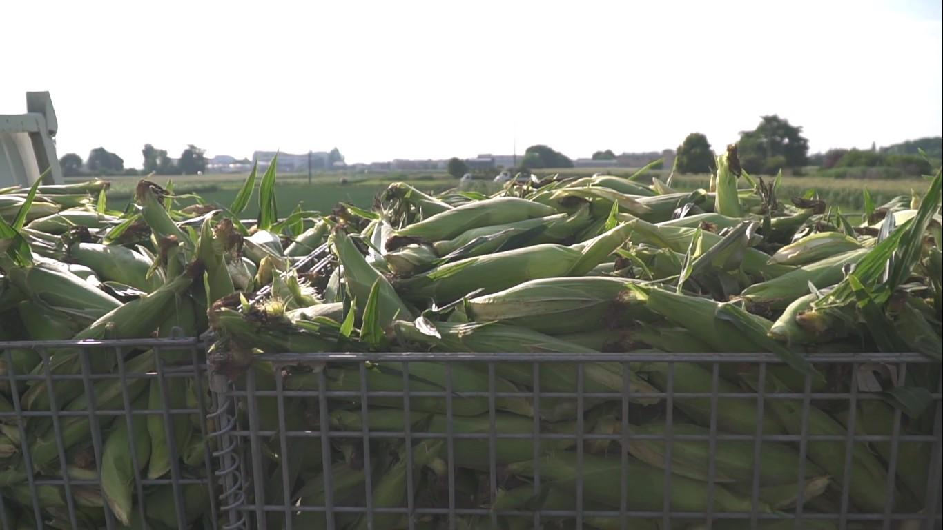 深谷の農業 とうもろこし 収穫直後のコンテナにあるとうもろこし