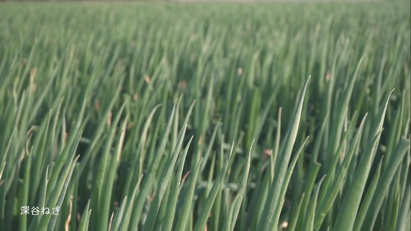 深谷の農業 深谷ねぎ ねぎ畑の様子