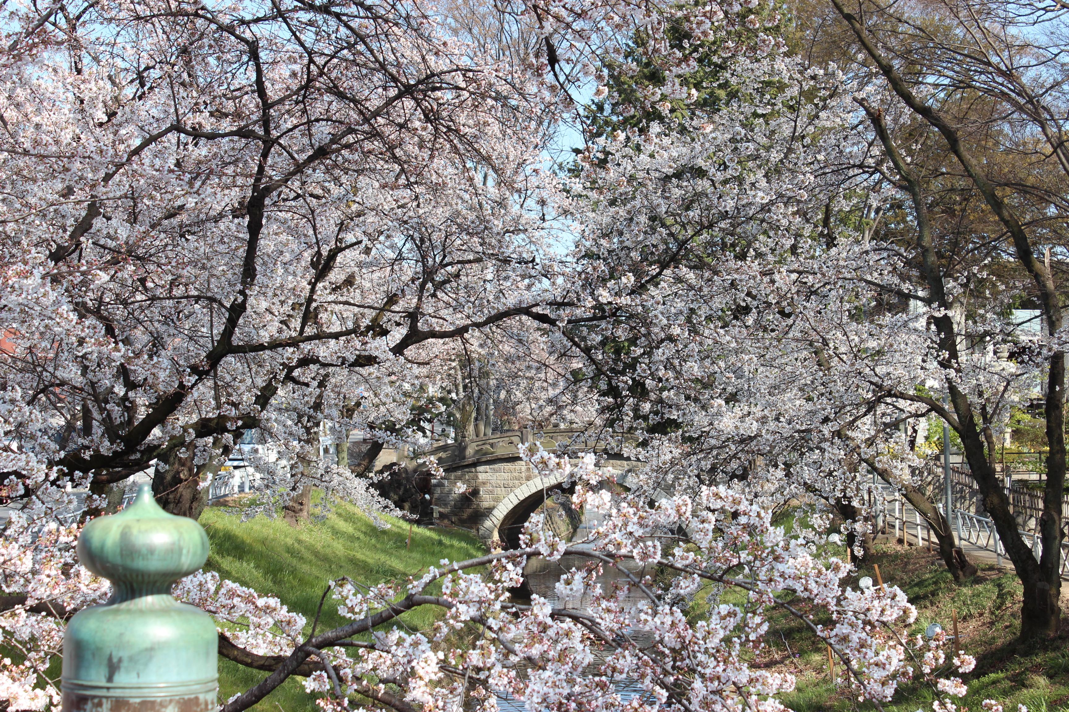 深谷市唐沢川の桜