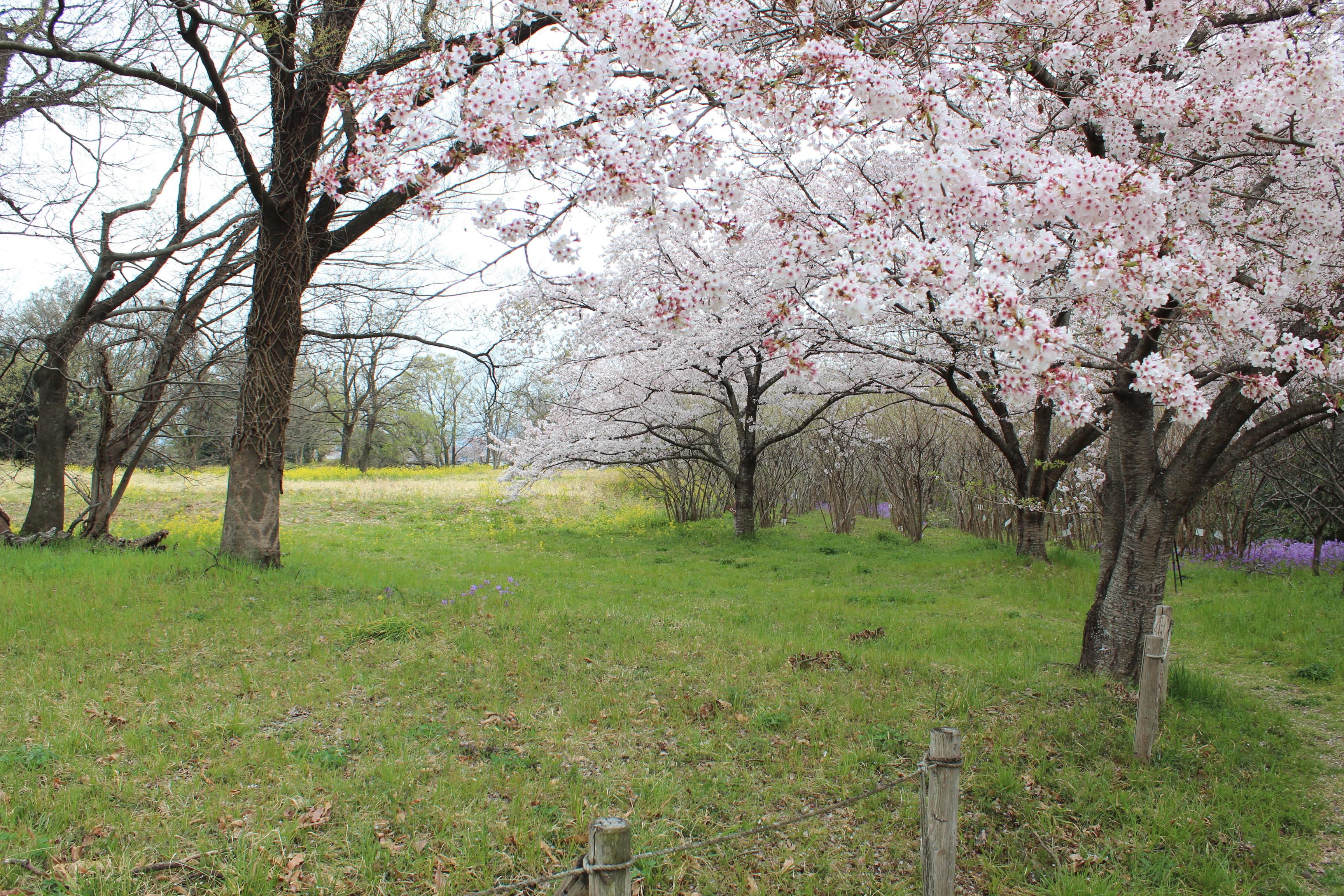 深谷市「鹿島古墳群」の桜