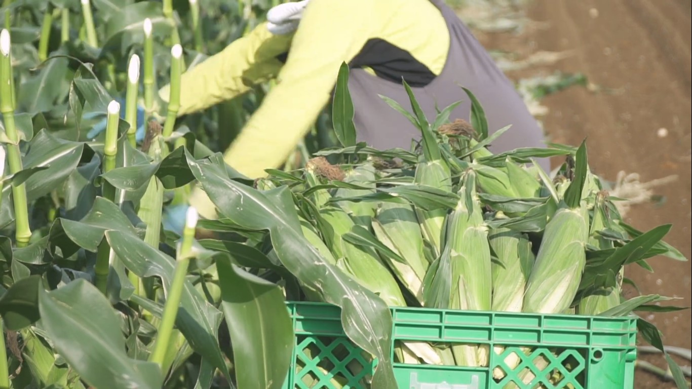 深谷の農業 とうもろこし 出荷作業