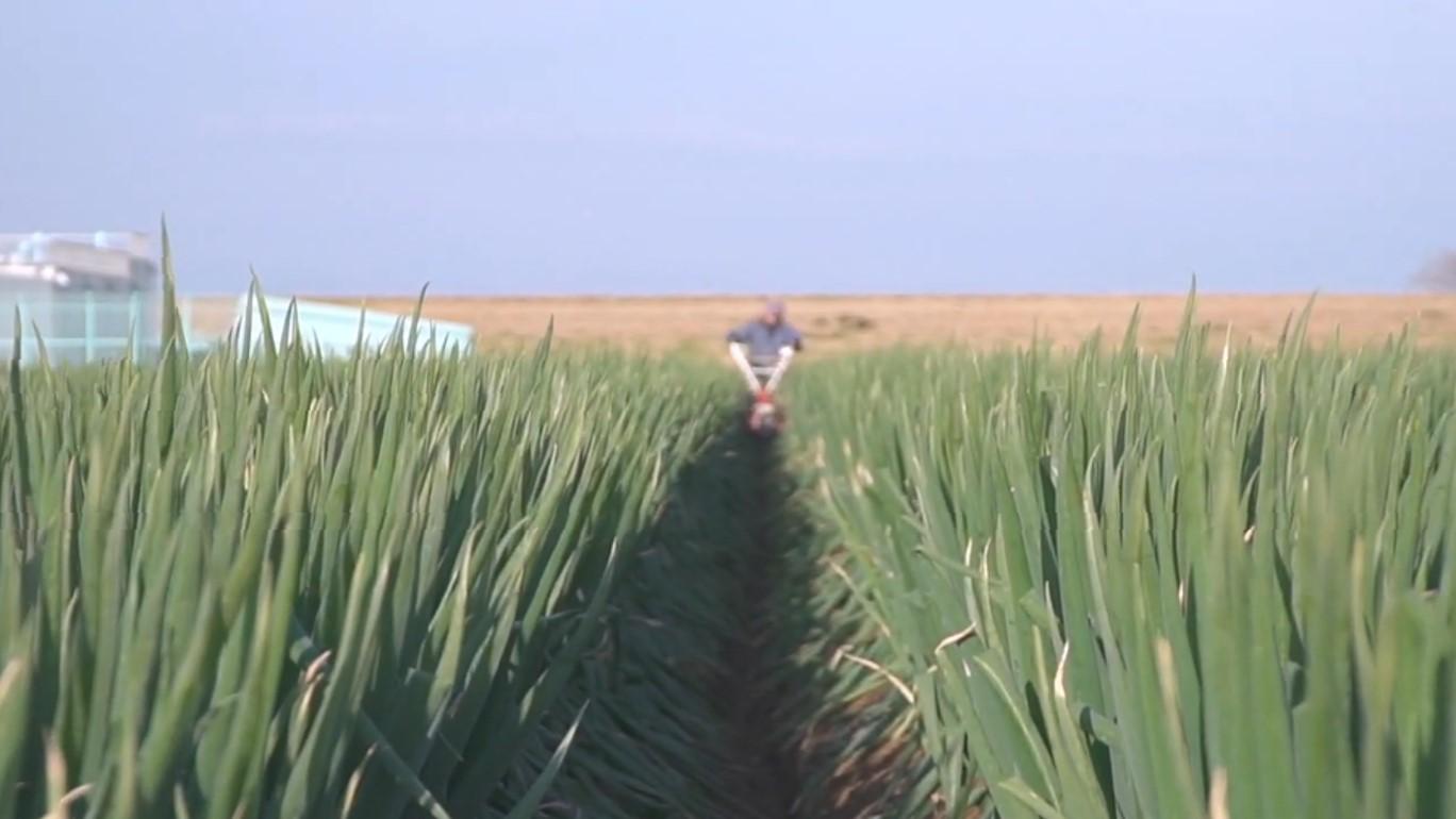 深谷の農業 深谷ねぎ 管理の様子