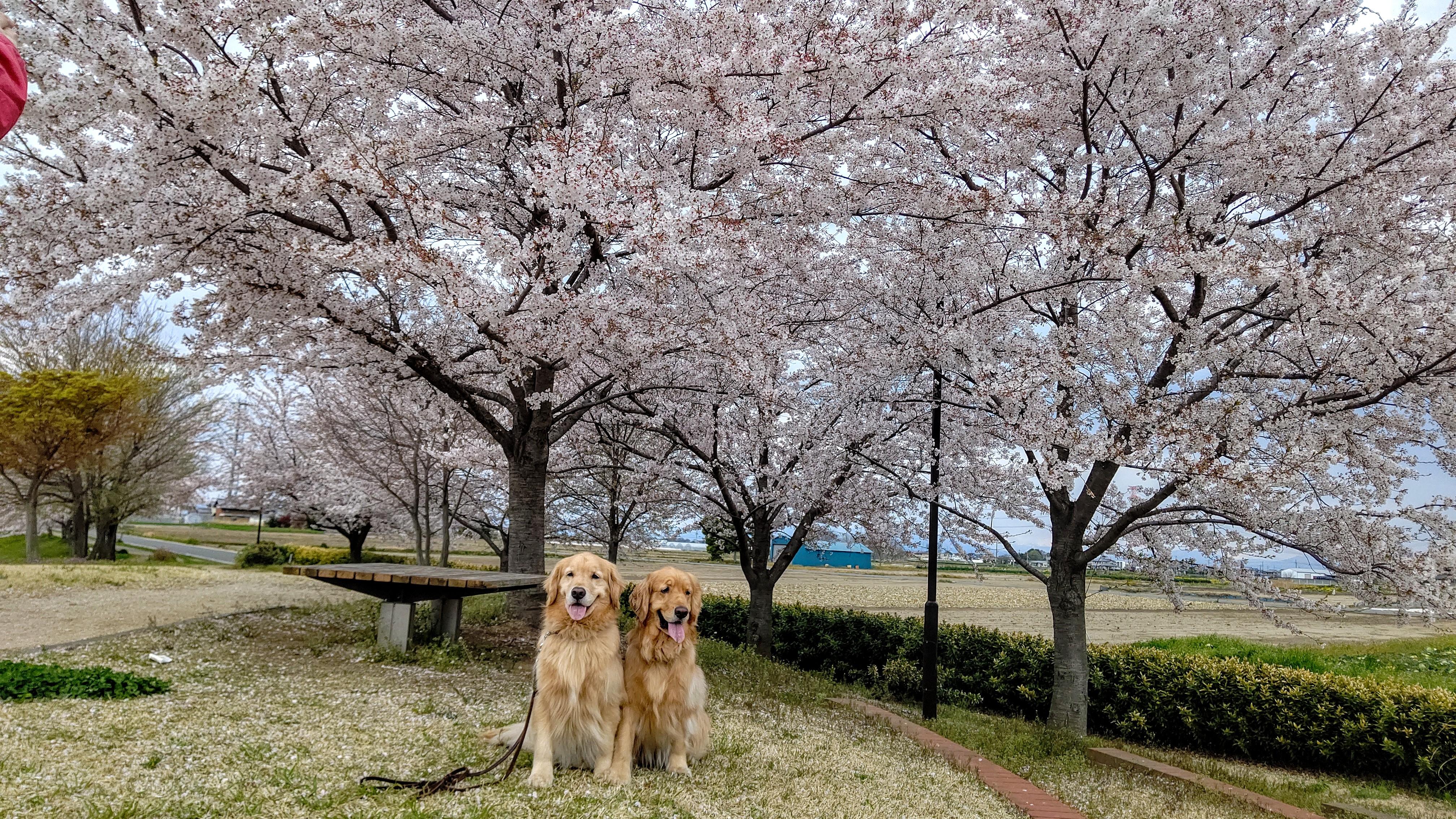 青淵公園でお花見