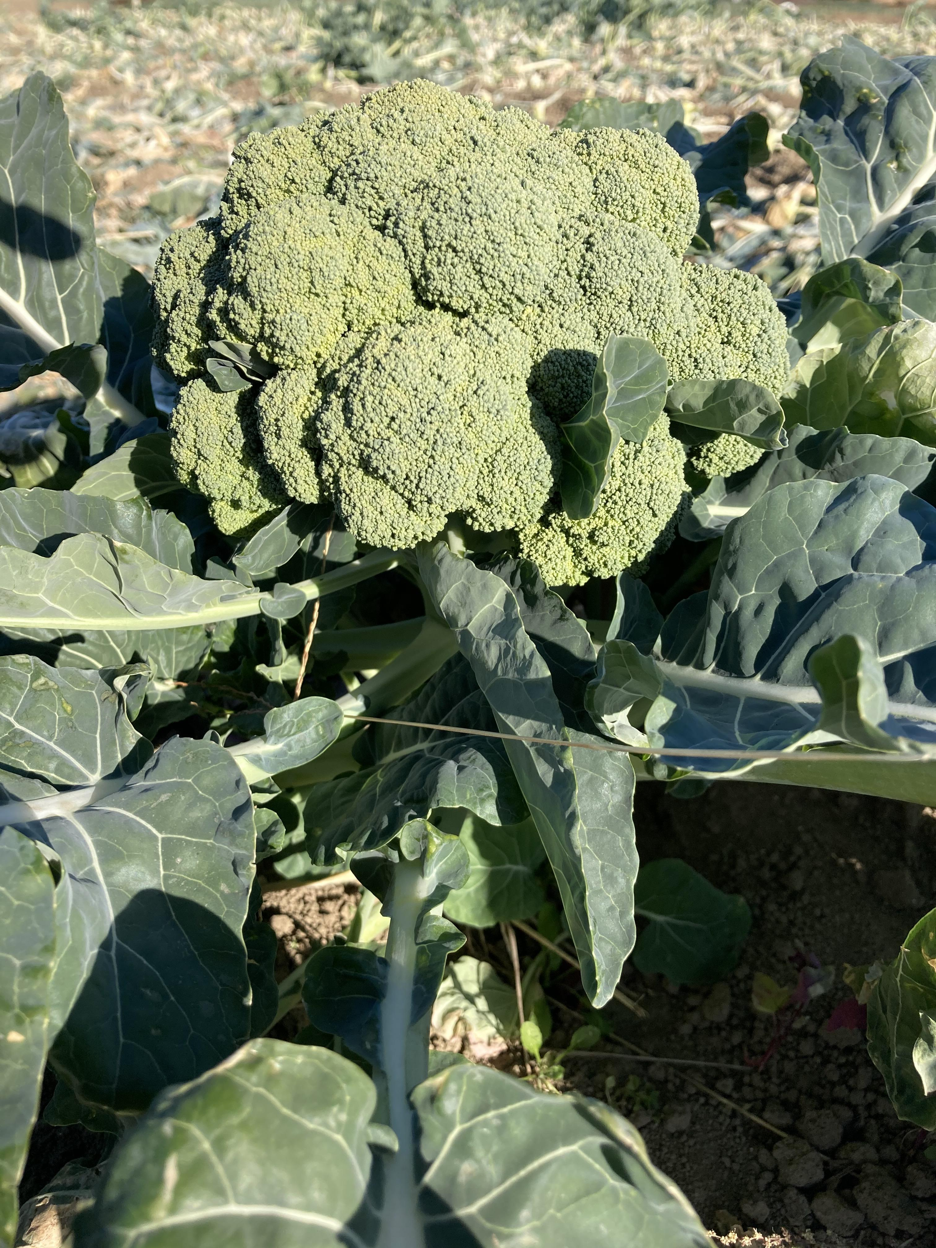 深谷市の農業 ブロッコリー畑 04