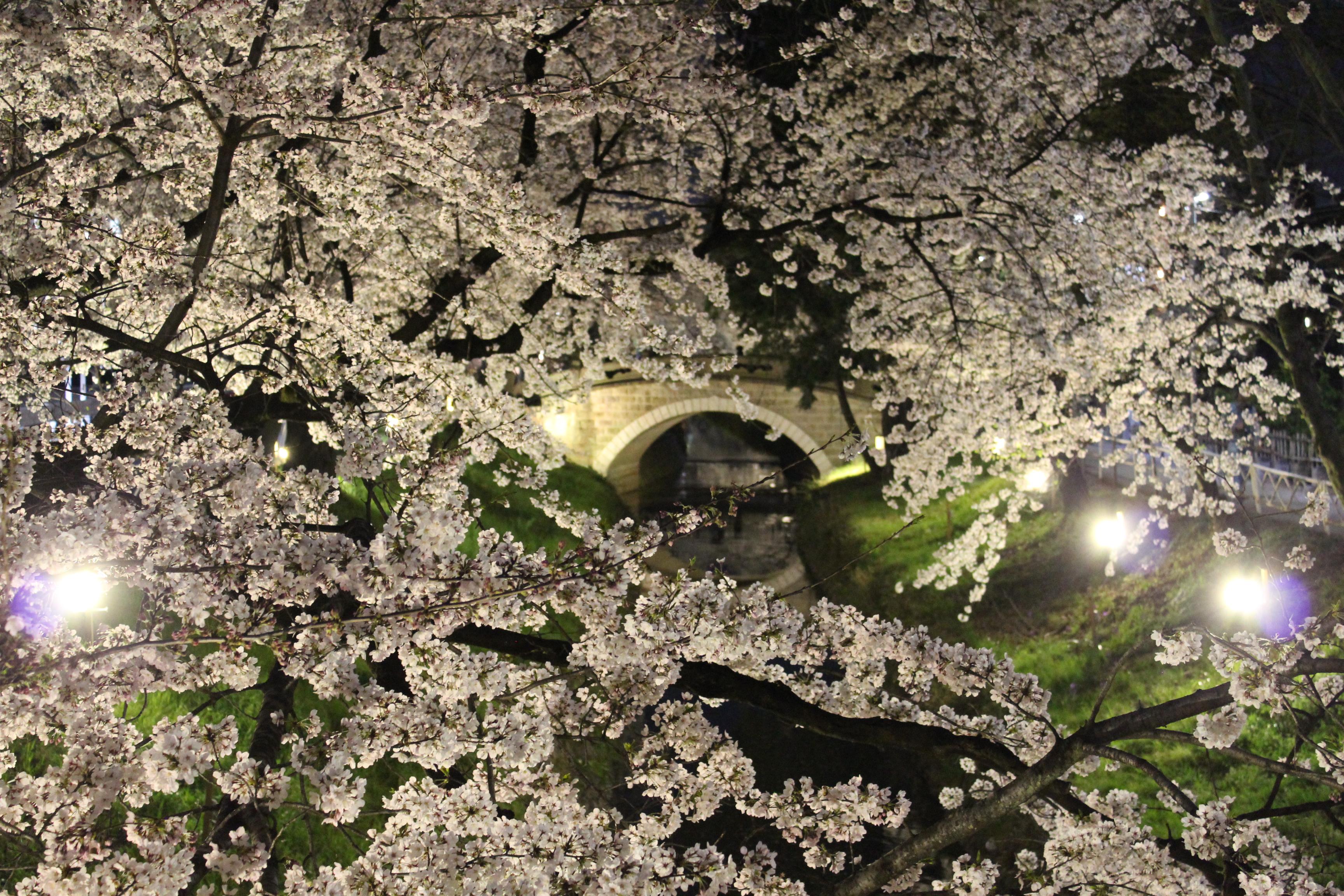 深谷の「瀧宮神社・唐沢堤の桜のライトアップ」写真2