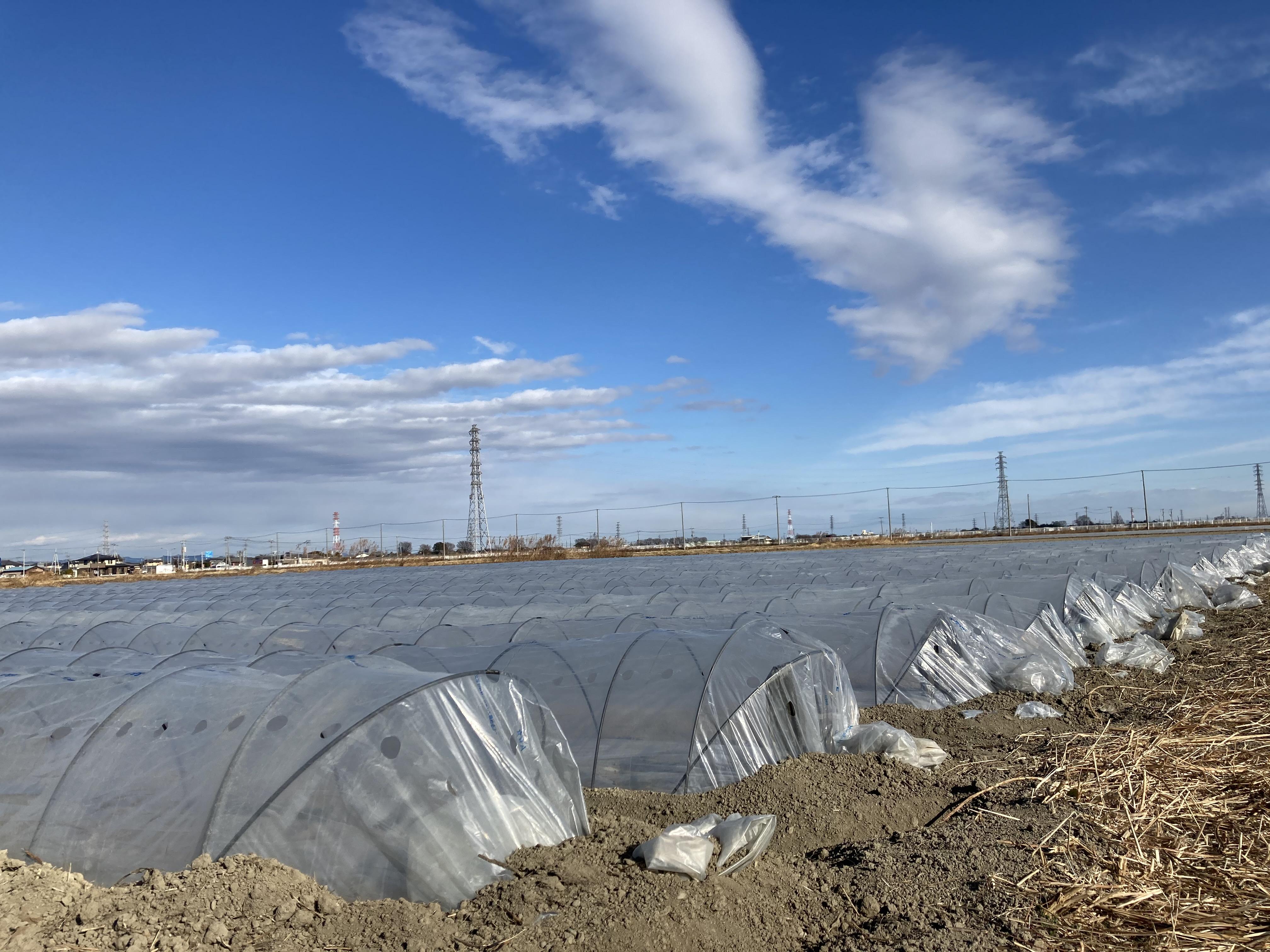 深谷市の農業 トンネル栽培 01