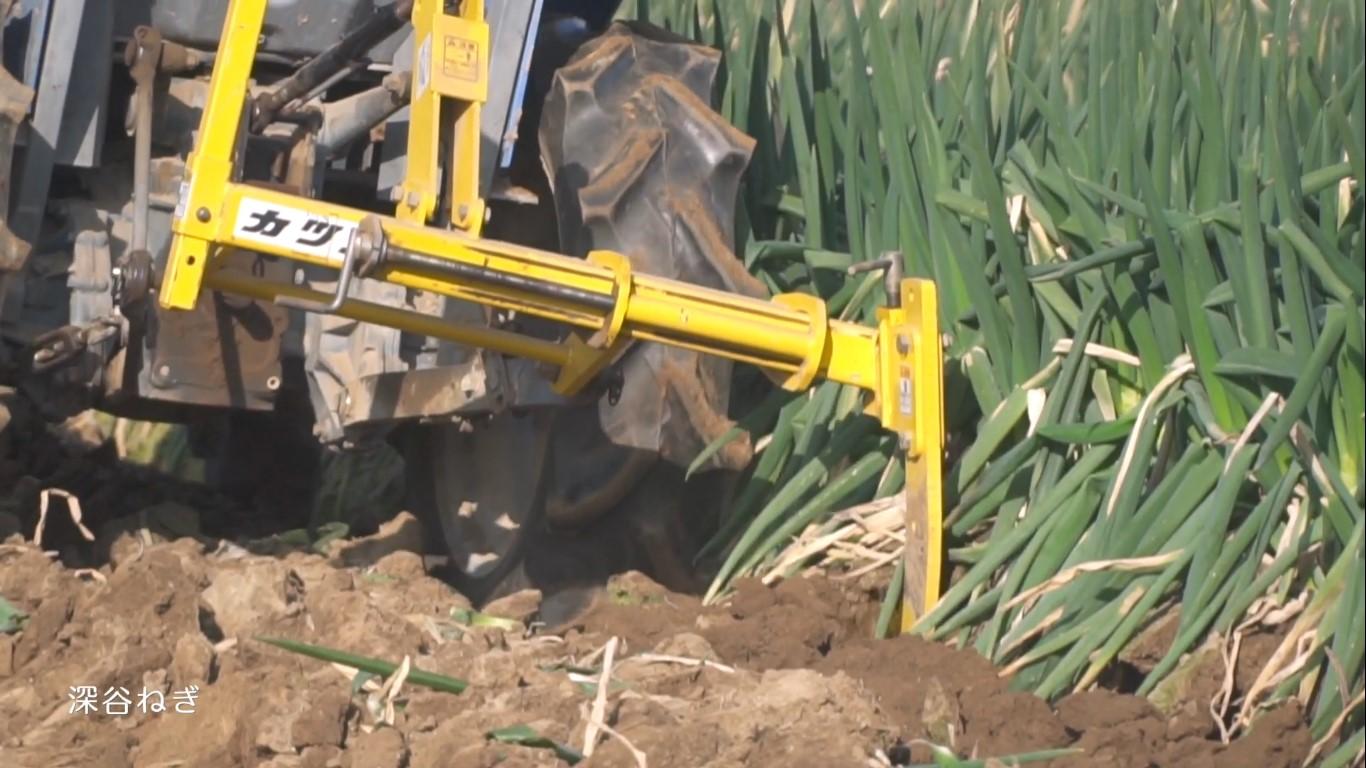 深谷の農業 深谷ねぎ 収穫の様子